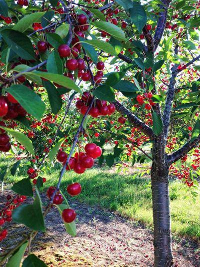 """Cây me mọc ra trái cherry, dân mạng dụi mắt nhìn đi nhìn lại vẫn ngỡ ngàng """"kỳ hoa dị thảo"""" - ảnh 1"""