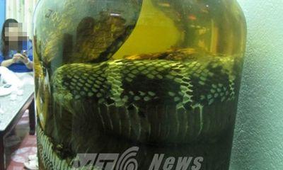 Rắn hổ chúa khủng dài 7m được mua với giá 1 cây vàng