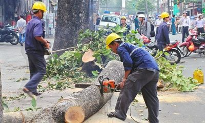 Chủ tịch Hà Nội quyết định dừng chặt hạ, thay thế 6.700 cây xanh