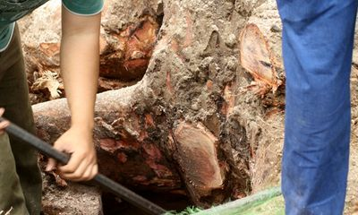Chặt 6.700 cây xanh: Xử lý khối gỗ sau khi đốn hạ thế nào?
