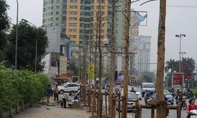 Vụ chặt cây Hà Nội: Cây mỡ không an toàn cho người đi đường