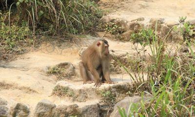 Đà Nẵng: Đã bắt được con khỉ