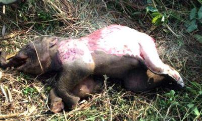 Phát hiện voi rừng 100kg chết bị lột da, cắt 4 đế chân