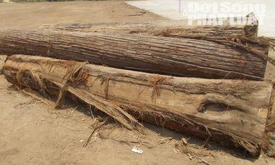 Lâm tặc xẻ thịt rừng, người dân lập chiến lũy bắt gỗ lậu