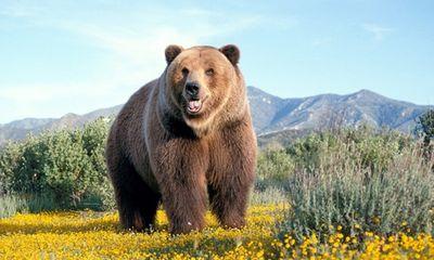 Coi chừng liệt dương, ung thư gan khi dùng mật gấu