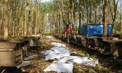 Nóng chuyện chuyển rừng nghèo sang trồng cao su