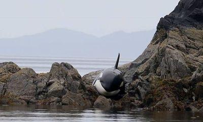 Tài nguyên - Nỗ lực giải cứu cá voi sát thủ mắc cạn trên bãi đá