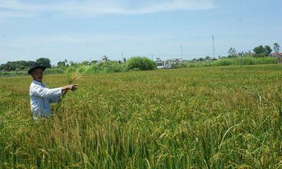 """Huế: Dân """"khóc ròng"""" vì ruộng lúa bị phá hoại?"""
