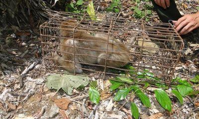 Tài nguyên - Thả 8 cá thể động vật quý hiếm về Vườn quốc gia Pù Mát