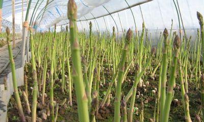 Nông dân thu nhập khá nhờ cây măng tây