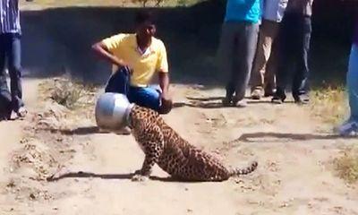 Video: Báo gấm xoay sở khi bị kẹt đầu trong bình nước