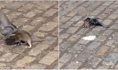 Chuột sát thủ tấn công chim bồ câu ngay trên phố