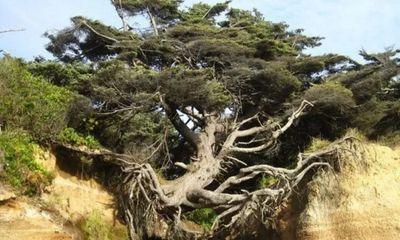 Kỳ lạ loài cây sống ở khu đất tách rời nhau vẫn xanh tươi