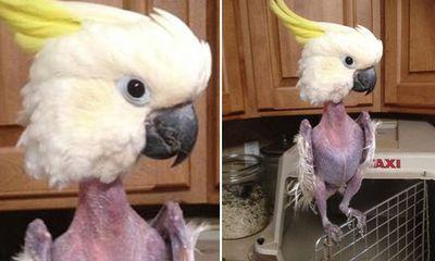Phì cười với con vẹt tự nhổ sạch lông vì căng thẳng