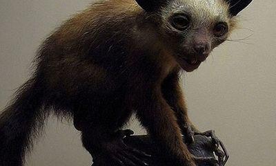 Loài khỉ Aye Aye được coi là hiện thân của quỷ dữ