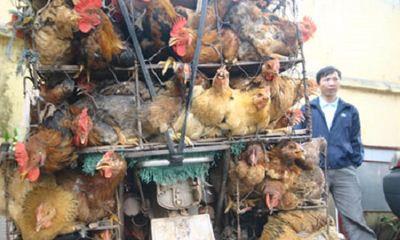 'Đại gia' đi ô tô chặn xe máy cướp 14 con gà