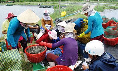Thương lái Trung Quốc đang gây rối thị trường tôm trong nước