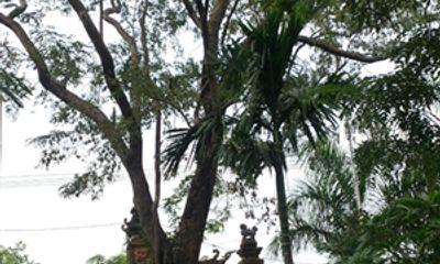 Tin tức mới về vụ rao bán cây sưa 200 tuổi giá 50 tỷ đồng ở Bắc Ninh