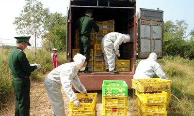 Quảng Ninh: Bắt giữ hơn 30 ngàn con gà giống nhập lậu