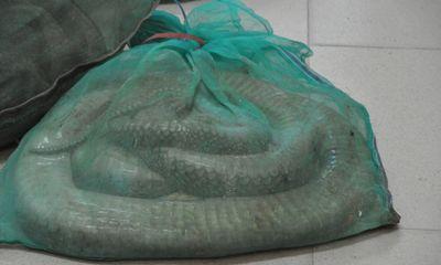 Bắt vụ vận chuyển 25 con rắn hổ mang chúa