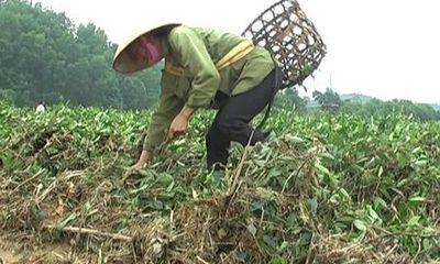 Hương Sơn - Hà Tĩnh: Xác xơ những đồi chè sau lũ dữ