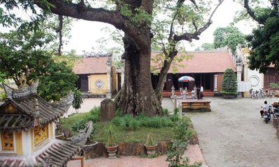 Thăm đền Mõ, nghe chuyện về cây gạo hơn 700 năm tuổi