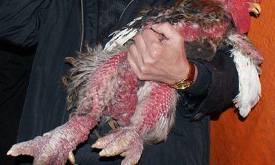 Đại gia chi hàng chục triệu săn gà cổ ăn tết