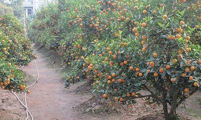 Hà Nội: Người trồng đào, quất lo ế hàng và vắng khách