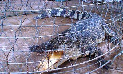 Vụ bắt được cá sấu dài 1m: Bàn giao cho kiểm lâm