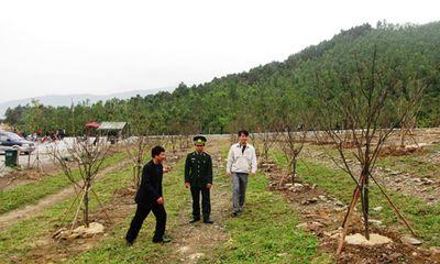 Hoàn thành rừng mai 103 cây ở khu mộ Đại tướng Võ Nguyên Giáp