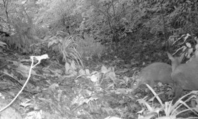 Loài mang nghi tuyệt chủng bất ngờ xuất hiện ở Thanh Hóa