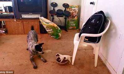Clip chú chó Chihuahua quyết chiến với chó lớn để giữ thức ăn
