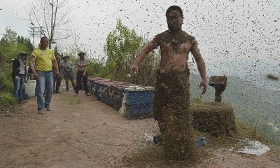 """Chuyện lạ: Người """"hút"""" gần nửa triệu con ong"""