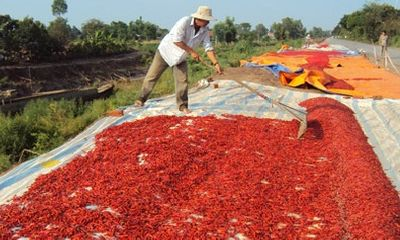 Thương lái Trung Quốc lừa người trồng ớt