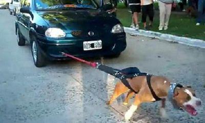 Kinh ngạc chú chó kéo xe ô tô 4 chỗ chạy băng băng
