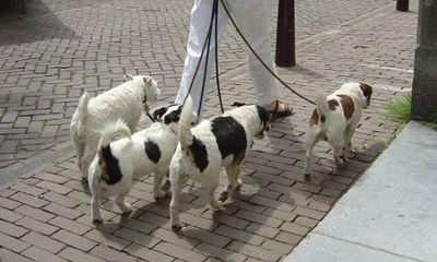 Hà Nội: Kiếm bộn tiền nhờ… dắt chó đi dạo