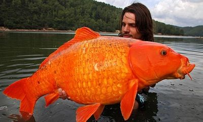 Câu được cá vàng nặng... 13kg