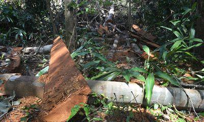 Hạ cây, xẻ gỗ trong rừng phòng hộ Minh Hóa