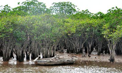 Hà Tĩnh: Rừng ngập mặn bị thu hẹp