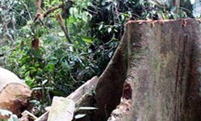 4 người chết vì đổ xô vào rừng khai thác ươi
