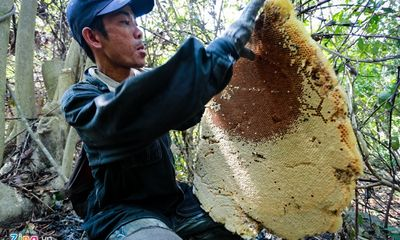 Phú Yên: Đua nhau vào rừng săn mật ong bán giá 1 triệu đồng/lít