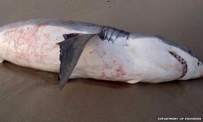 """Cá mập trắng khổng lồ chết nghẹn vì """"ăn thịt"""" sư tử biển"""