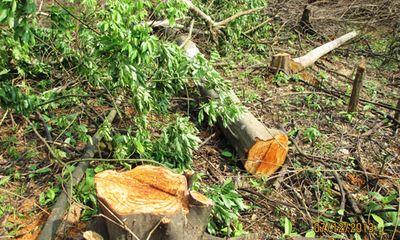 Đốn gỗ trái phép, Trưởng BQL rừng phòng hộ Phan Thiết bị bắt