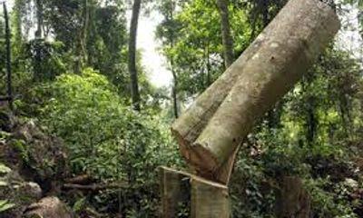 Bắt nhóm lâm tặc tàn phá Khu bảo tồn Pù Huống
