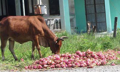 Đau xót thanh long đổ đống đầy đường, cho bò ăn