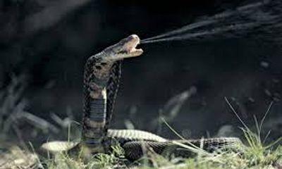 Xem rắn trong lồng, bị phun nọc độc vào mắt