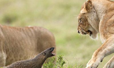 Cầy magnut nhỏ bé một mình chống lại 4 sư tử hung tợn