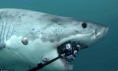 Cá mập trắng khổng lồ cắn nát máy quay phim 12.000 USD