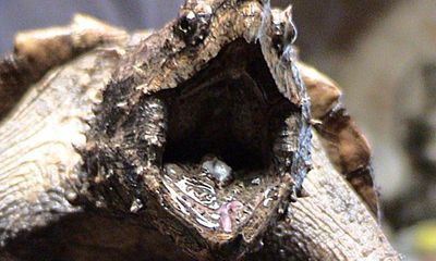Kỳ dị loài rùa đầu khủng long, đuôi cá sấu có từ thời tiền sử