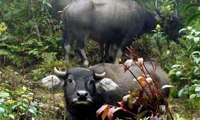 Chuyện khóc – cười từ nghề độc: Vào rừng săn trâu… nhà
